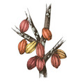 hand drawn cocoa pods on tree branches vector image