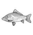 crucian fish in engraving style design element vector image
