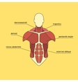 Muscle system of human thorax vector image vector image