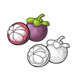 whole and half mangosteen vintage vector image vector image