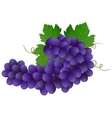 image of violet grape with green leaves vector image vector image