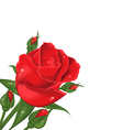 Red rose isolated on white background vector image vector image