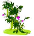 pea bush vector image