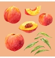 Watercolor hand drawn peach vector image