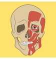 Human skull with muscle system vector image