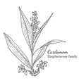 ink cardamom hand drawn sketch vector image