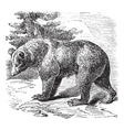 Cinnamon bear vintage engraving vector | Price: 1 Credit (USD $1)