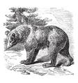 Cinnamon Bear vintage engraving vector image