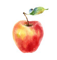 watercolor red yellow apple on white background vector image