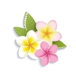 plumeria flowers on a white background vector image