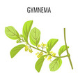 gymnema ayurvedic medicinal herb isolated on white vector image