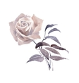 Watercolor garden rose isolated on white vector image vector image
