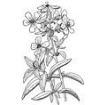 plant saponaria officinalis vector image vector image