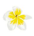 plumeria white frangipini vector image vector image