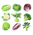 set with different kinds cabbage isolated on vector image vector image