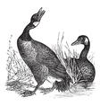 Canadian Goose vintage engraving vector image