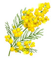 yellow mimosa flower branch symbol of spring vector image vector image