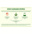 how cannabis works horizontal infographic vector image vector image