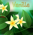 Vanilla orchid Vanila planifolia with green leaves vector image vector image