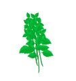 Fresh Holy Basil Plants on White Background vector image vector image