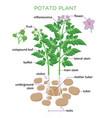 potato plant in flat design vector image vector image