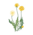 dandelion with flowers and seed heads isolated on vector image