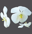 white orchid flowers isolated on gray vector image vector image
