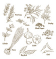 set of hand drawn herbs and spices vector image