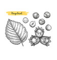 ink sketch of hazelnut vector image vector image