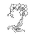 orchid flower sketch engraving vector image