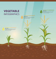 maize or corn growth stages in form infographic vector image