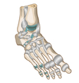 Ligaments and joints of the foot vector image
