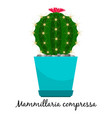 mammillaria compressa cactus in pot vector image