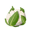 cauliflower isolated on white background vector image vector image