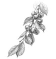 cherry branch pencil drawing vector image