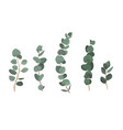 set of eucalyptus branches isolated on white vector image