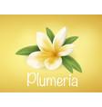white and yellow plumeria flower vector image