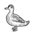 duck line art sketch vector image