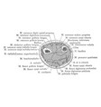 cross section three inches above the styloid vector image vector image