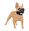 french bulldog standing isolated on white vector image vector image