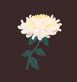 adorable chrysanthemum bud with stem and leaves vector image vector image
