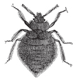 Bed Bugs Vintage Engraving vector image
