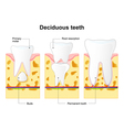 deciduous tooth vector image