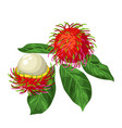 rambutan isolated on white background vector image