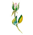 watercolor rose bud with leaves vector image vector image