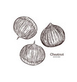 chestnut drawing engraving ink line art vector image vector image