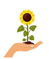 sunflower cartoon in hand isolated on a white vector image