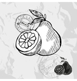 Hand drawn decorative pomelo vector image vector image