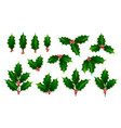 realistic holly ilex branch with berry and vector image