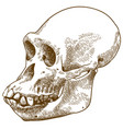 engraving drawing of anthropoid ape skull vector image
